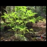 BC Bud Threatened if California Legalizes Marijuana