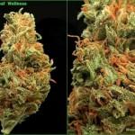 Medical Marijuana in Michigan