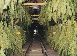 harvesting_marijuana