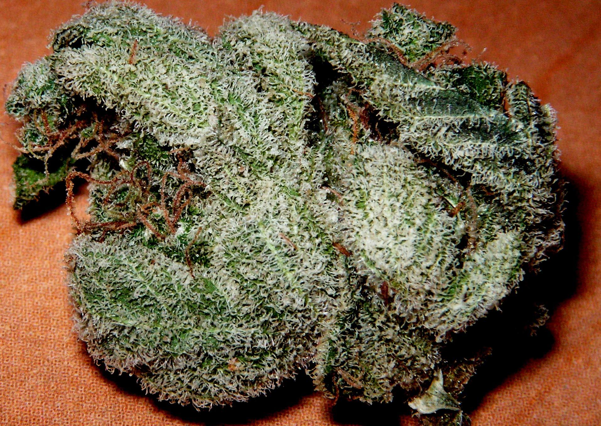 white-russian-strain